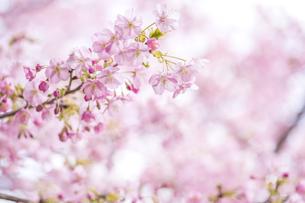 河津桜の花の写真素材 [FYI00270750]