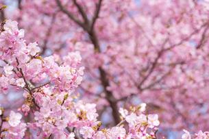 河津桜の花の写真素材 [FYI00270755]
