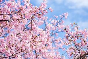 河津桜と空の写真素材 [FYI00270757]