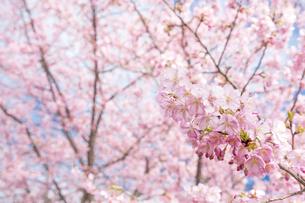 河津桜の花の写真素材 [FYI00270758]