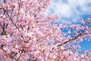 河津桜と空の写真素材 [FYI00270760]