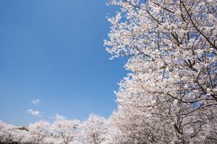 満開のソメイヨシノ並木と青空の写真素材 [FYI00270772]