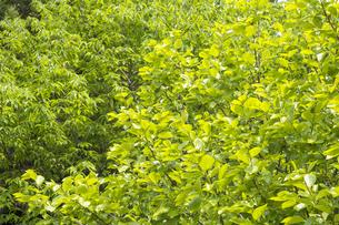 栗の木をバックに柿の木の葉の新緑の写真素材 [FYI00270831]