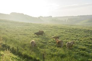 朝霧の阿蘇の牧場の牛の写真素材 [FYI00270840]