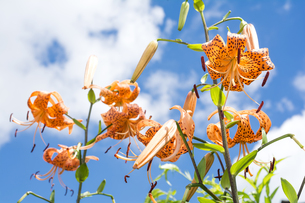 青空をバックにオニユリの花花の写真素材 [FYI00270943]