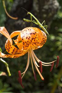 オニユリの花に乗っているカマキリの写真素材 [FYI00270956]