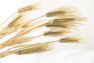 収穫したオオムギの穂の写真素材 [FYI00270973]
