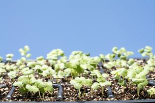 苗床から発芽した白菜と青空の写真素材 [FYI00271021]