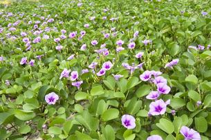 グンバイヒルガオのお花畑の写真素材 [FYI00271027]