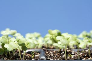 苗床から発芽した白菜と青空の写真素材 [FYI00271029]