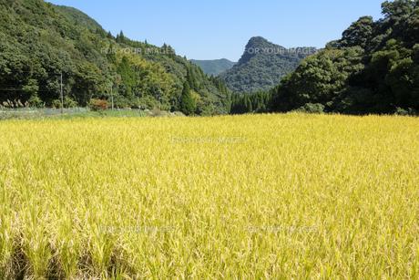 秋の内之尾の棚田の稲の素材 [FYI00271089]