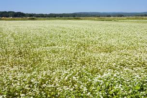 花の咲いたソバ畑の写真素材 [FYI00271090]