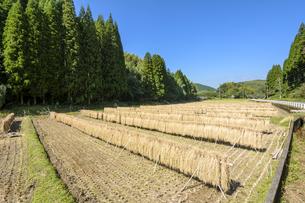 はざ掛けした稲と田の写真素材 [FYI00271093]