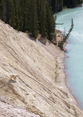 崖岩の上から川を見つめる野生のヤギの写真素材 [FYI00271146]