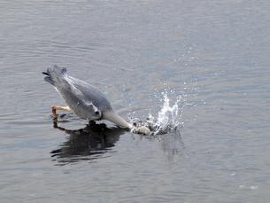 千葉県谷津干潟の野鳥、水中に首をつっこむアオサギの写真素材 [FYI00271152]