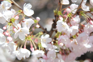 咲き始めの桜の写真素材 [FYI00271170]