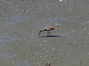 千葉県谷津干潟の野鳥、餌を探すチュウシャクシギの写真素材 [FYI00271174]