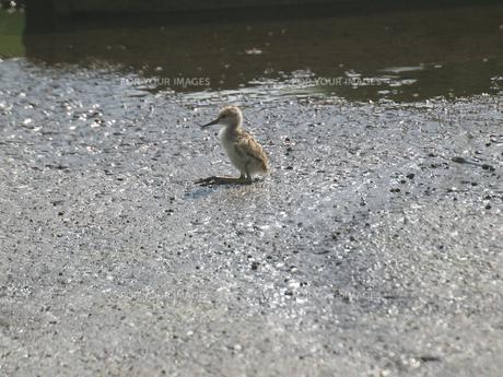千葉県谷津干潟の野鳥、座るセイタカシギの雛の写真素材 [FYI00271175]