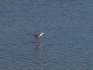千葉県谷津干潟の野鳥、餌を探す一羽のセイタカシギの写真素材 [FYI00271176]