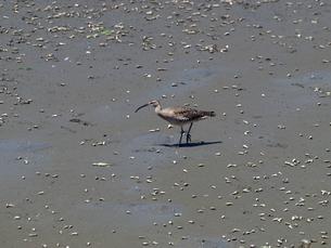 千葉県谷津干潟の野鳥、餌を探すチュウシャクシギの写真素材 [FYI00271180]