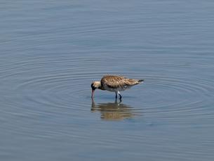千葉県谷津干潟の野鳥、餌を探すオオソリハシシギの写真素材 [FYI00271181]