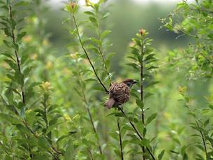 藪の中の雪柳の細い枝に止まる雀の写真素材 [FYI00271206]