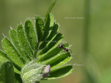 カラスノエンドウの若芽を這いまわるアリの写真素材 [FYI00271213]