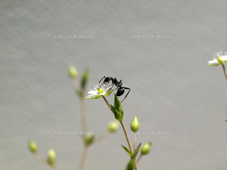 野の花の蜜を吸うアリの写真素材 [FYI00271221]