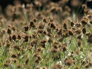 群生する春の野草、スズメノヤリの写真素材 [FYI00271247]