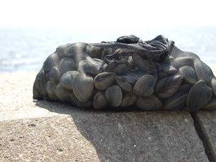 東京湾、船橋・幕張の浜で採れる大きな白蛤の写真素材 [FYI00271250]