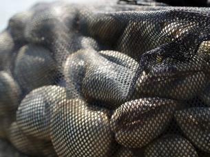 東京湾で採れる巨大な白蛤「ホンビノスガイ」の写真素材 [FYI00271263]