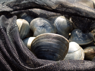 東京湾で採れる巨大な白蛤「ホンビノスガイ」の写真素材 [FYI00271268]