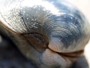 東京湾で採れる巨大な白蛤「ホンビノスガイ」の写真素材 [FYI00271269]
