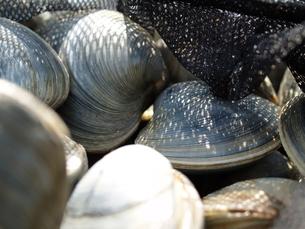東京湾で採れる巨大な白蛤「ホンビノスガイ」の写真素材 [FYI00271271]