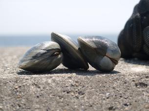 東京湾で採れる巨大な白蛤「ホンビノスガイ」の写真素材 [FYI00271272]