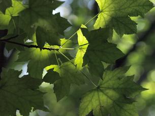 逆光に透ける楓の葉の写真素材 [FYI00271330]