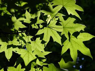 逆光に透ける楓の若葉の素材 [FYI00271432]