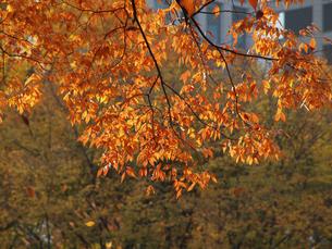 ケヤキの紅葉とビル街の素材 [FYI00271436]