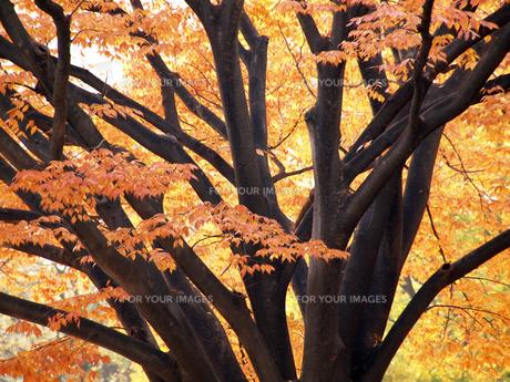 ケヤキの大木と紅葉の素材 [FYI00271437]