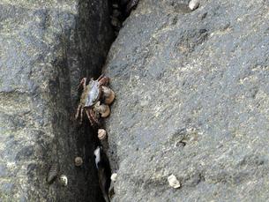 岩の隙間から出てきた蟹の素材 [FYI00271480]
