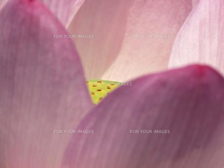 大賀ハスの花の素材 [FYI00271485]