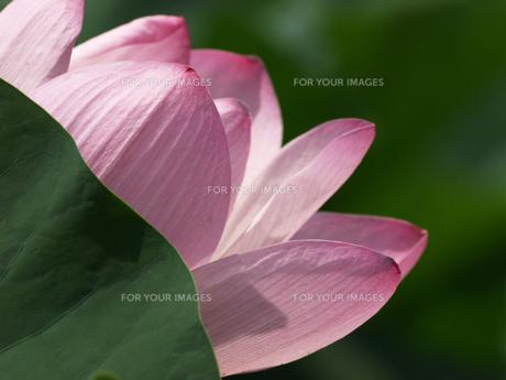 大賀ハスの花の素材 [FYI00271492]