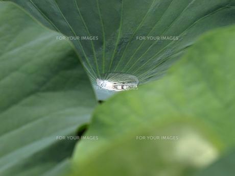 ハスの葉と水滴の素材 [FYI00271497]