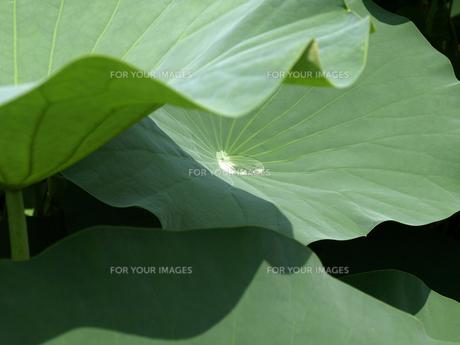 ハスの葉と水玉の素材 [FYI00271499]