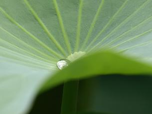ハスの葉と水滴の素材 [FYI00271500]