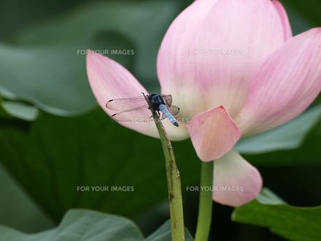 ハスの花とシオカラトンボの素材 [FYI00271508]