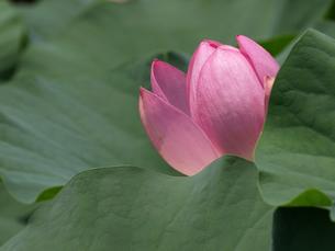 大賀ハスの花の素材 [FYI00271510]
