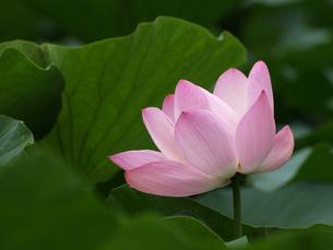 大賀ハスの花の素材 [FYI00271511]
