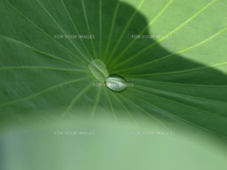 ハスの葉と水玉の素材 [FYI00271514]