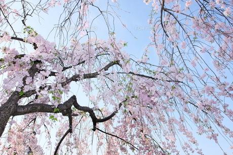 嵐山の枝垂桜の写真素材 [FYI00271549]